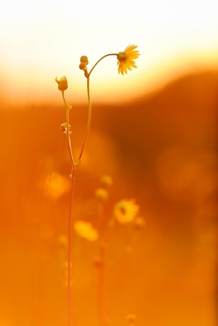 Flowering prairie dock at sunrise in Curtis Prairie. Photo: Jeff Miller/UW–Madison
