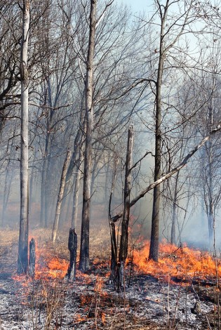 Prescribed fire is an important tool in managing prairie and oak savanna ecosystems.