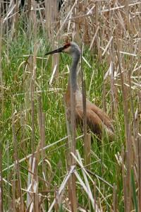 A sandhill crane seeks a nesting spot in a Teal Pond Westlands marsh.