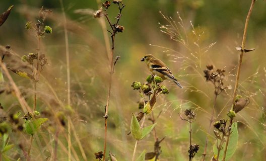Goldfinch foraging for prairie rosinweed seeds