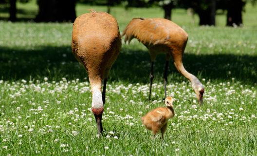 Sandhill cranes in Longenecker Horticultural Gardens