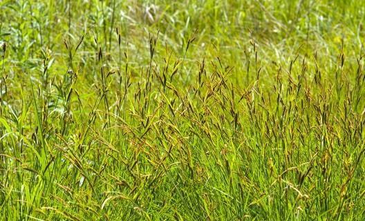 Curtis Prairie grasses