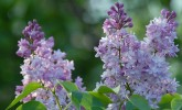 Lilac blooms in Longenecker Horticultural Gardens