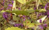Milkweed bugs, grasshopper, milkweed, and asters