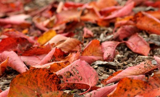 Fall leaves in Longenecker Horticultural Gardens