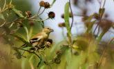 Goldfinch feeding on sawtooth sunflower seeds