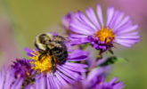 Common eastern bumble bee on New England aster