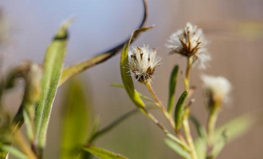 Aster seed heads in Curtis Prairie