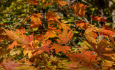 Japanese maple tree leaves in fall color