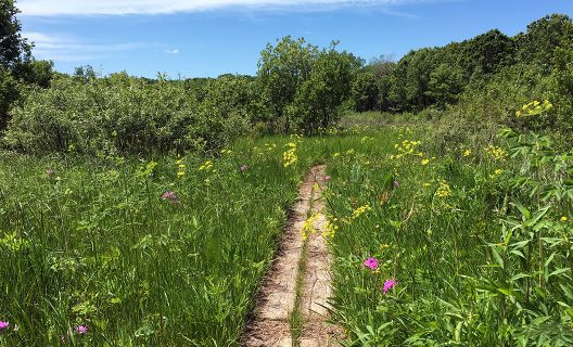 Wildflowers blooming in Greene Prairie