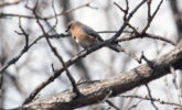 Eastern bluebird on tree branch