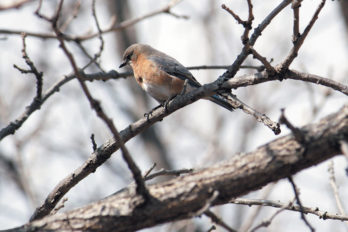 Eastern bluebird on tree branch