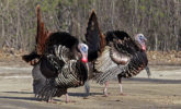 Tom turkeys strut and display feathers