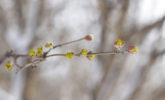 Cornelian cherry dogwood buds