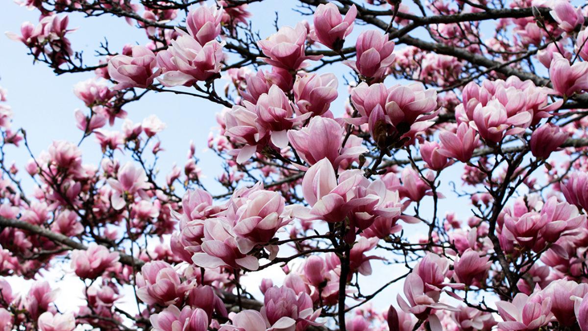 Horticultural Garden Notes Spring Updates Uw Arboretum