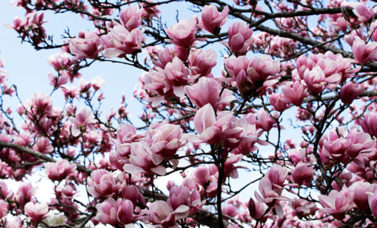 Magnolias blooming in Longenecker Horticultural Gardens