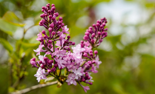 Lilacs beginning to bloom in Longenecker Horticultural Gardens