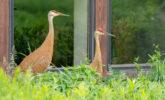 Sandhill cranes outside the Visitor Center