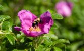 Bumblebee on rugosa rose
