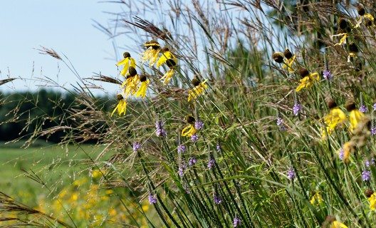 Native wildflowers and grasses in bloom