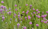 Bumble bees foraging on purple prairie clover