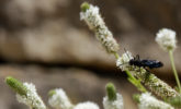 Great black wasp on white prairie clover