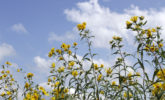 Saw-tooth sunflowers in Curtis Prairie