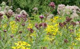 Wildflowers blooming in the Native Plant Garden