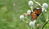 Viceroy butterfly on rattlesnake-master