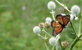 Viceroy butterfly on rattlesnake-master