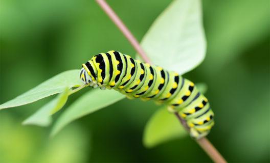 Swallowtail caterpillar in the Native Plant Garden