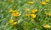 Ox-eye sunflowers in the Native Plant Garden