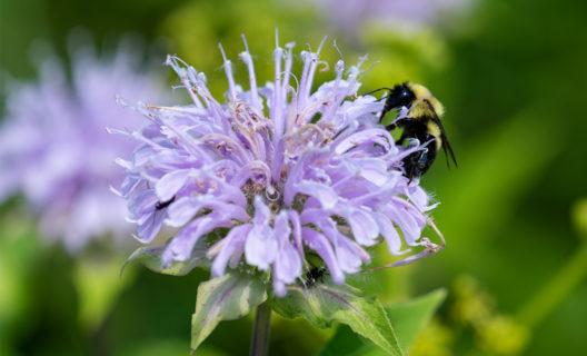Bumblebee on a bee balm flower