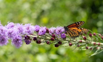 Monarch butterfly on blazing-star in Native Plant Garden