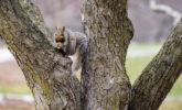 Grey squirrel feeding in tree