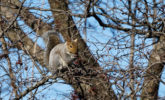 Grey squirrel feeding on crabapples in a crabapple tree