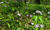 Woodland phlox blooming in Gallistel Woods