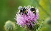 Bumble bees on native pasture thistle