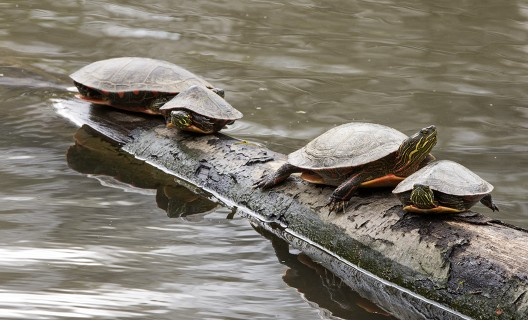 Painted turtles sunning on a log