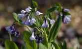 Virginia bluebells in Gallistel Woods