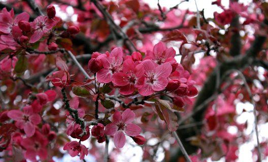 Crabapple blossoms in Longenecker Horticultural Gardens