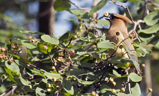Cedar waxwing eating juneberries