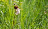 Red-belted bumble bee approaching echinacea