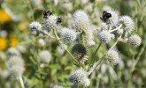 Bumble bees on rattlesnake master