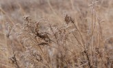 Prairie grasses on ice