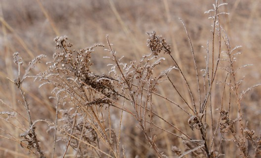 Prairie grasses on ice