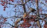 Winter birds enjoying crabapples