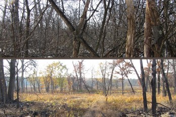 Looking west toward Curtis Prairie across wetlands and oak savanna, before (top) and after (bottom) clearing European buckthorn.