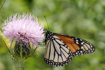 Monarch on native prairie thistle
