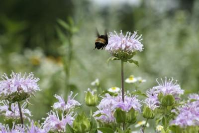 NGC bumblebee_MG_1652_ed-cr_4x6